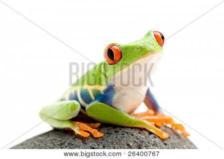 frog on a rock - a red-eyed tree frog (Agalychnis callidryas) closeup shot isolated on white