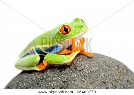daydreaming - a red-eyed tree frog on a rock, closeup isolated on white
