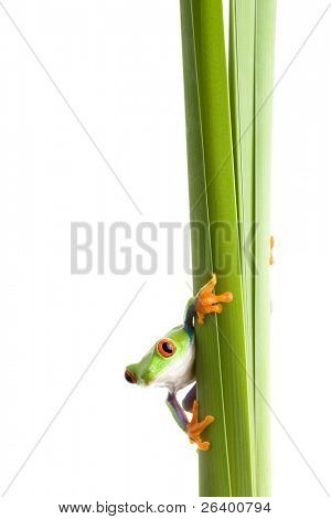 red-eyed tree frog (Agalychnis callidryas) on a plant, closeup isolated on white