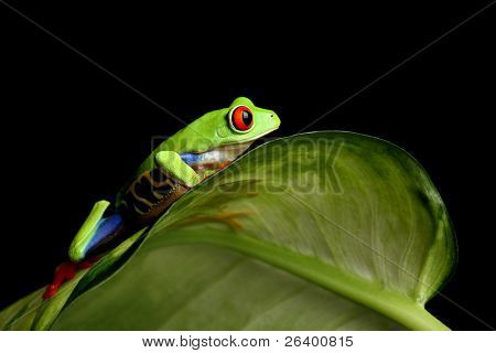 red-eyed tree frog (Agalychnis callidryas) on a leaf, close up and isolated on black