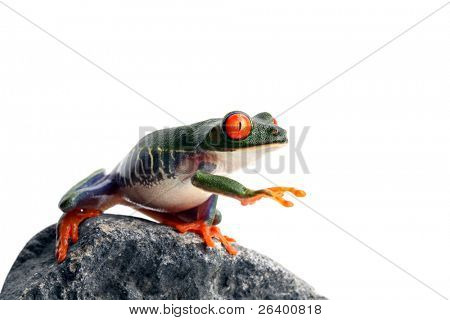 frog on rock, reaching for... I have no idea. A red-eyed tree frog closeup isolated on white