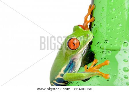 frog on a wet bottle - a red-eyed tree frog (Agalychnis callidryas) closeup, isolated on white.