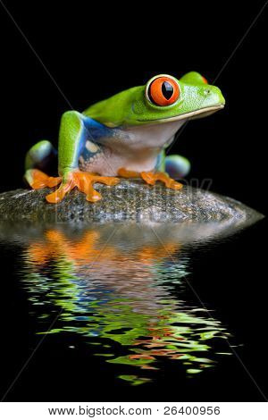 red-eyed tree frog on a rock with water reflection isolated on black