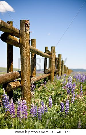 fence through field of lupin in the Bighorn mountains, Wyoming