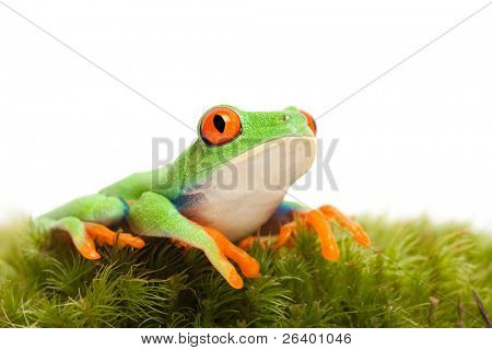 frog on natural wet moss - red-eyed tree frog (Agalychnis callidryas) closeup isolated on white background