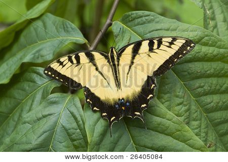Yellow Tiger Swallowtail on plant