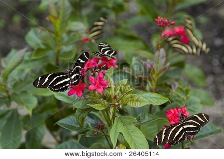 Group of many Zebra long wing butterflies on red flowers