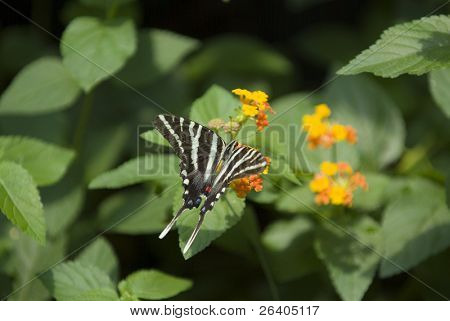 Zebra swallowtail butterfly on orange flower