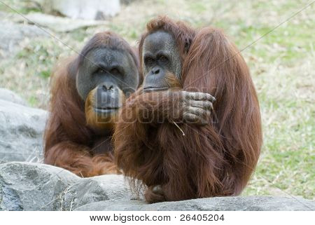 orangutan looking like people