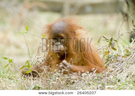 orangutan baby looking like people