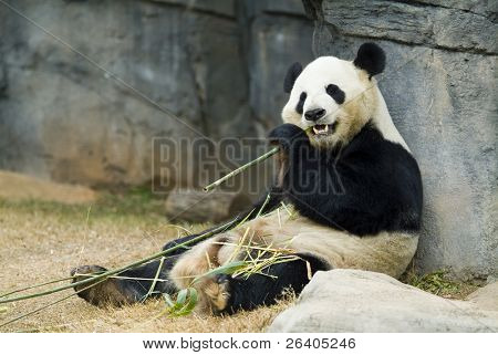 Panda relajarse y comer bambú fresco