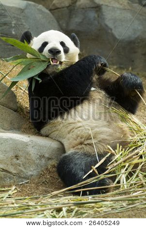 Panda relaxing and eating fresh bamboo