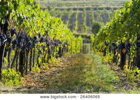 Lush ripe grapes on the vine 46