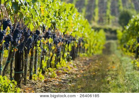 Lush ripe grapes on the vine 88