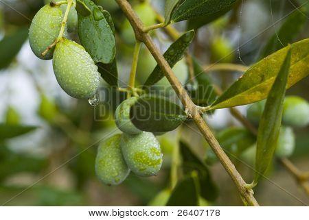 prall italienischen Oliven auf dem Baum 01. sehen Sie mehr in meinem portfolio