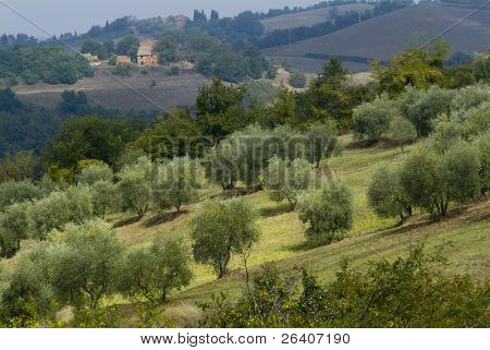 Plump Italian olive tree landscape 07. See more in my portfolio
