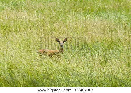 White tail deer fawn in grass
