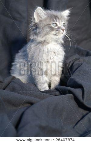 Adorable cute little gray kitten cat