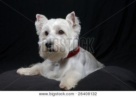 White Westhighland westie terrier dog on black background