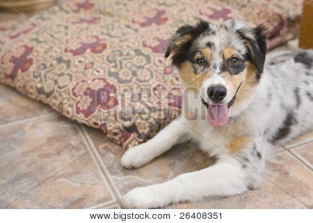 Aussie Puppy Dog Australian Shepherd 01