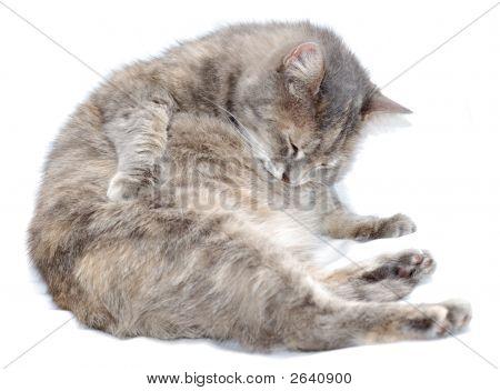 eine grooming Katze