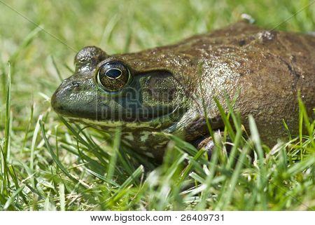 Very cool huge green frog 01