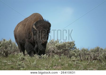 Wild bison buffalo in Yellowstone National Park grazing