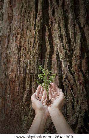 pflegen Sie Baby baum Sämling gegen Giant Redwood Hintergrund Konzept