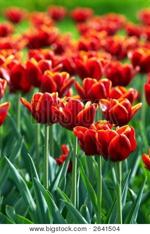 Red Tulip Flowers Field