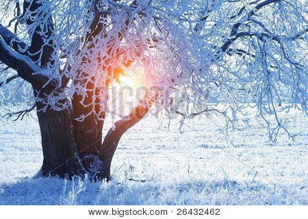 Part of an oak with frozen branches