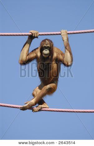 Orangutan At The Zoo