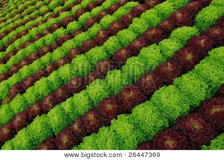 Field with salad