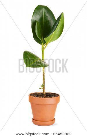Planta de goma en un fondo de la olla, blanco
