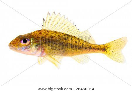 The Eurasian Ruffe (Gymnocephalus cernuus)  predatory fish found in temperate regions of Europe and northern Asia.