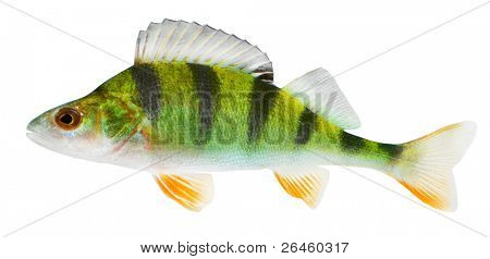 The European Perch (Perca fluviatilis) is a predatory fish found in temperate regions of Europe and northern Asia.