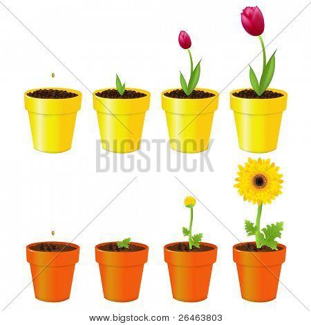 Margarida e tulipa em vasos, o processo de crescimento, isolado no branco