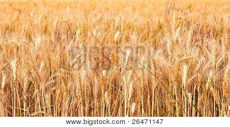 Spica Of Corn