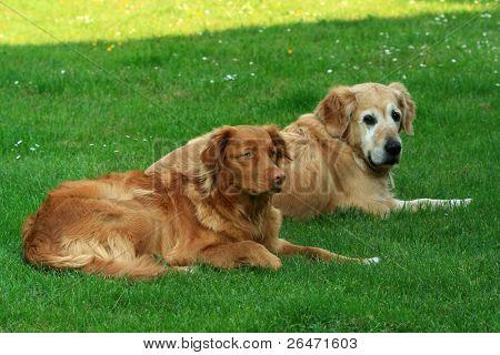 My dog   - â?? Golden retriever â?? and  â?? Nova Scotia Duck Tolling retriever â??