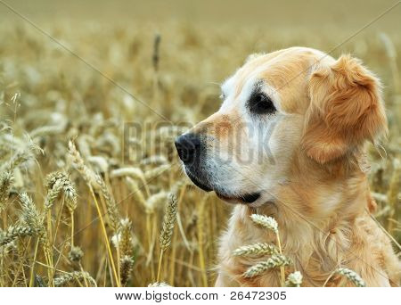 golden retriever en trigo de campo