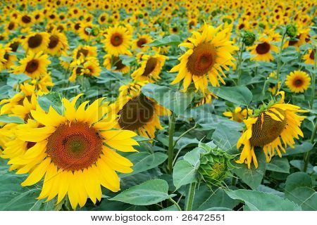 Sun-flowers in field