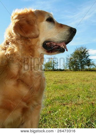 My darling dog - golden retriever