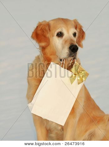 My dog -â?? Golden retriever â?? like dog, which bears presents