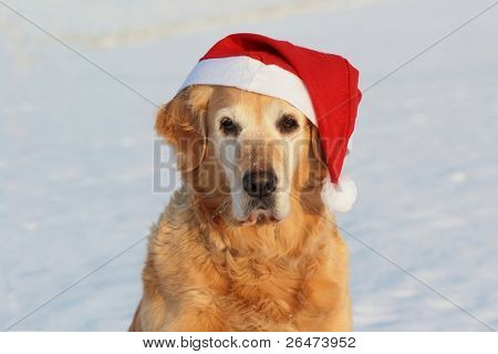 My dog   - â?? Golden retriever â?? like dog -santa claus