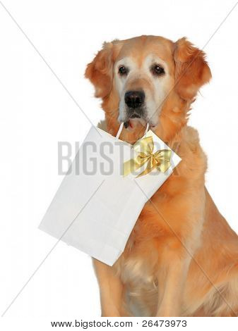 My dog -â?? Golden retriever â?? like dog, which bears presents on white background