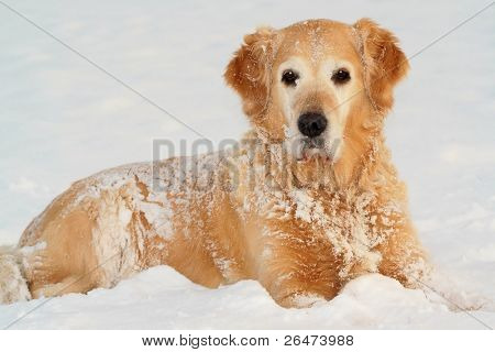 Golden retriever  in of winter on snow