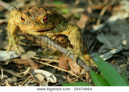 Frog – toad in the sun
