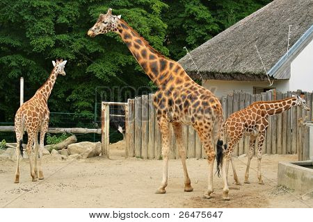 Three giraffe in ZOO - Czech Republic - Europe
