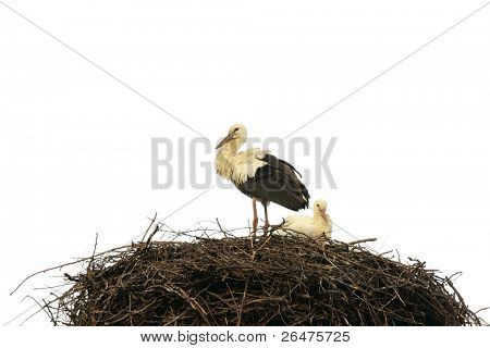 Stork in nest on white background (Ciconia ciconia