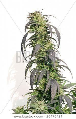 um folhas de cânhamo closeup no fundo branco