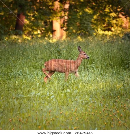 Roe doe deer standing in free nature